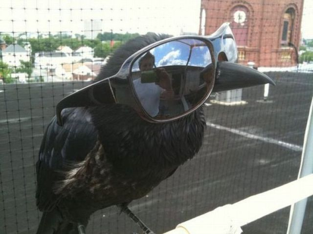 [Image: Crow-With-Sunglasses-Funny-Amazing-Picture.jpg]