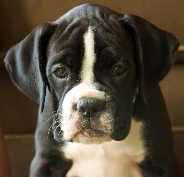 White and black boxer dog - photo#26
