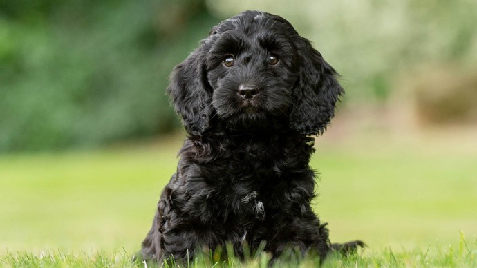 Black Cockapoo Dog