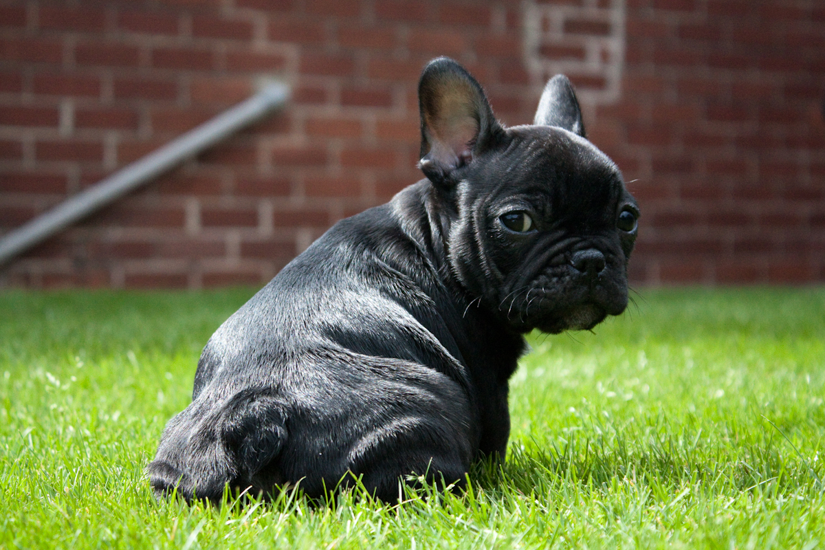 black bulldog puppy 35 most beautiful black french bulldog pictures and images 5305