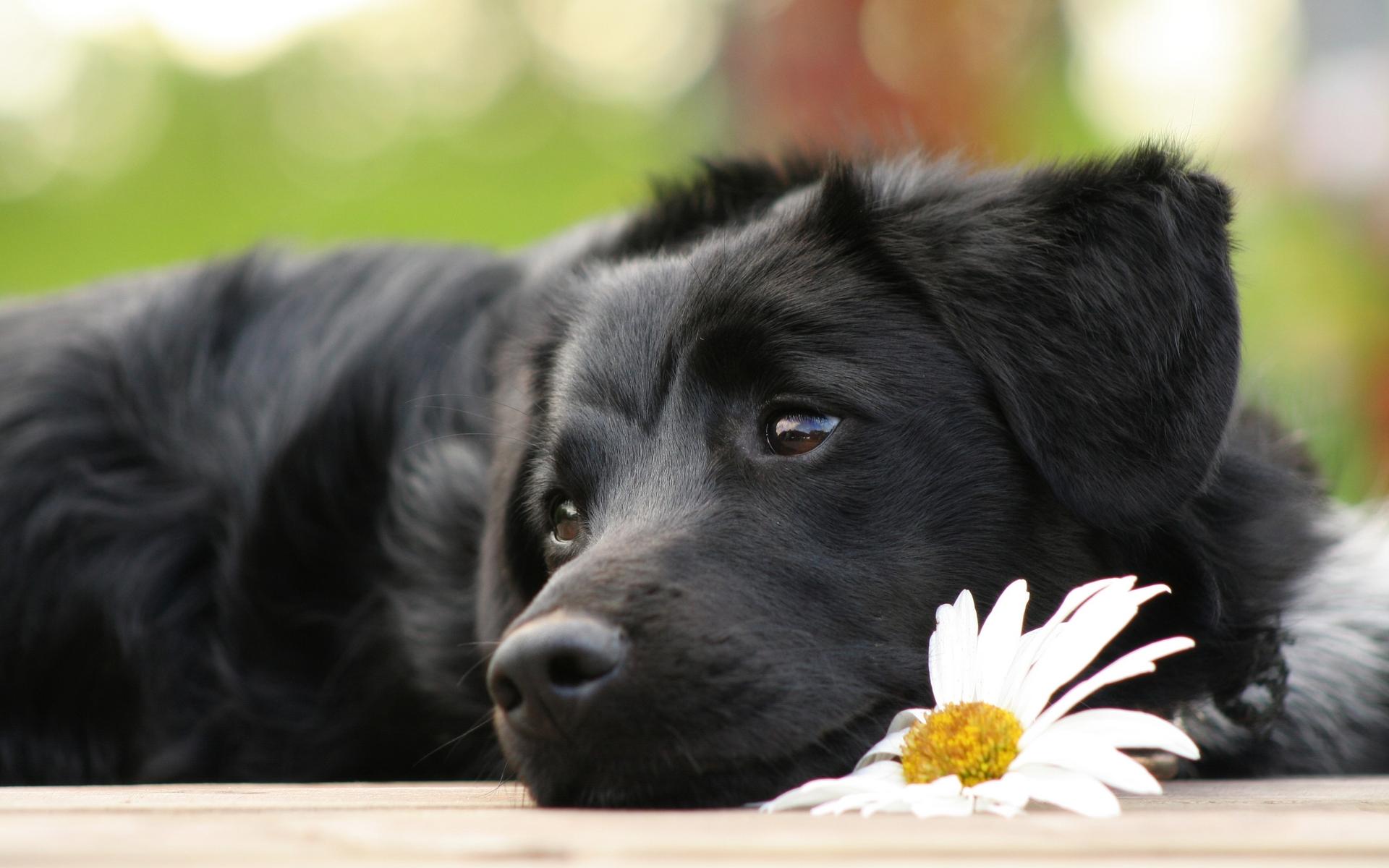 Simple Labrador Retriever Black Adorable Dog - Cute-Black-Labrador-Retriever-Innocent-Puppy-Wallpaper  Pictures_258498  .jpg