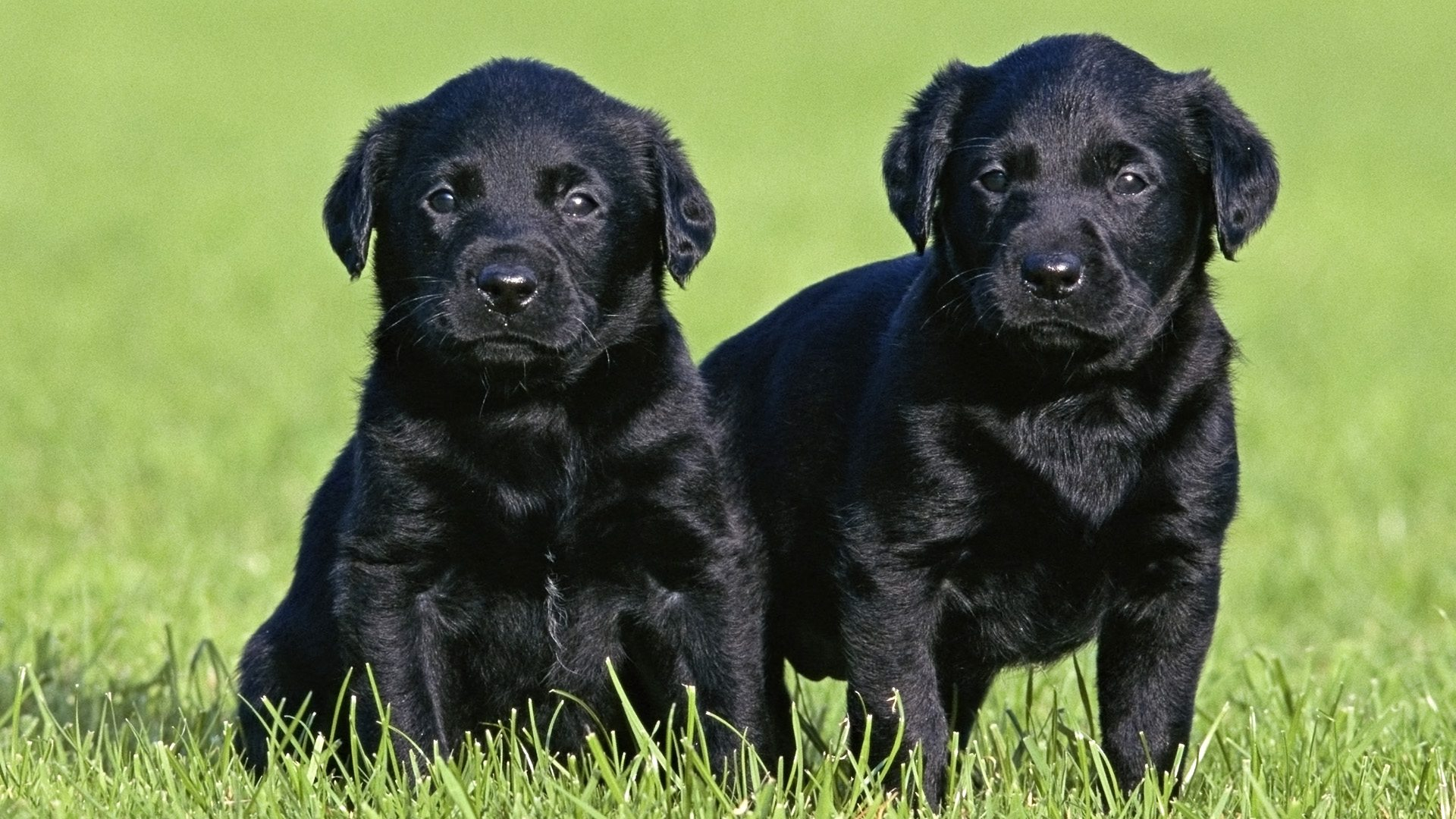 cute black lab puppies 30 wonderful black labrador retriever 214