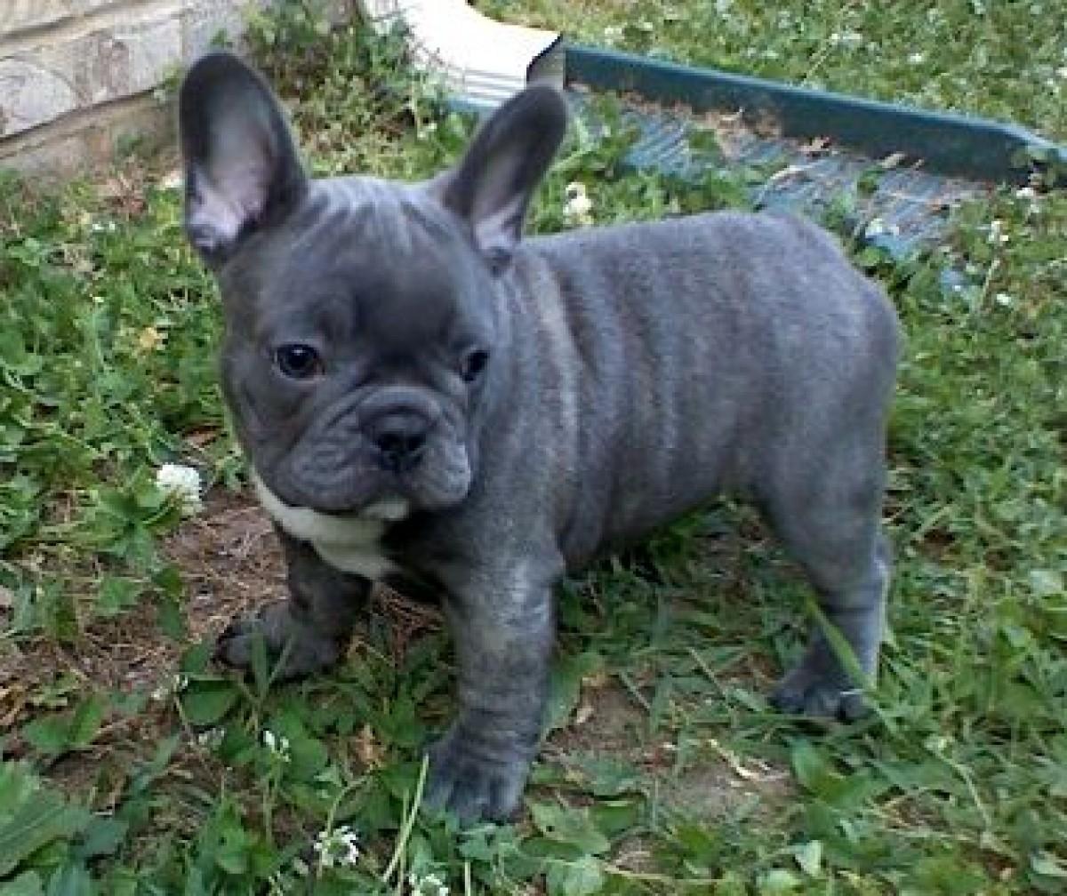 18 Most Beautiful Blue French Bulldog