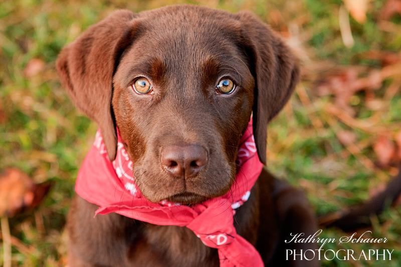 cute chocolate labrador retriever - photo #24