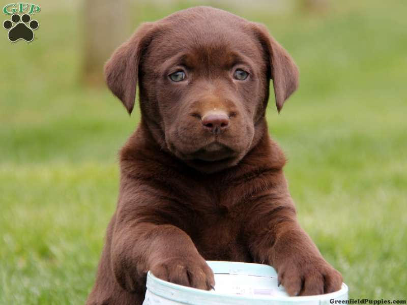 25 Wonderful Chocolate Labrador Retriever Dog Pictures And Images