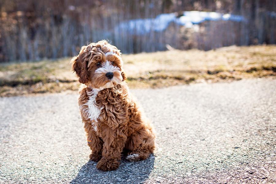 cockapoo-puppy-pics