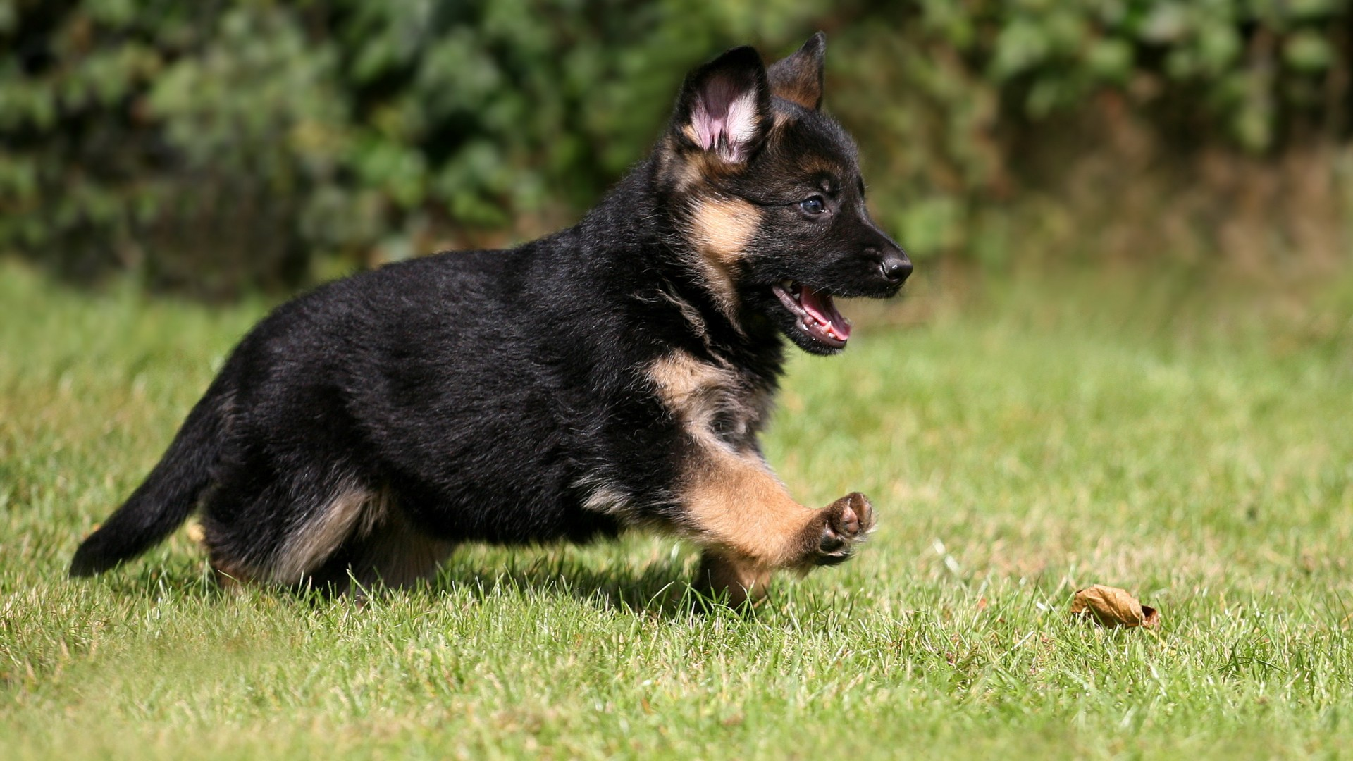 36 Wonderful German Shepherd Puppy Pictures And Images