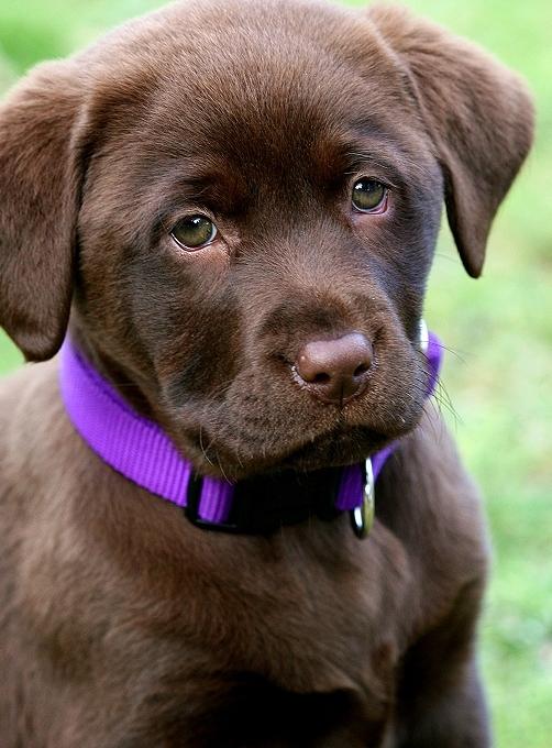 cute chocolate labrador retriever - photo #8