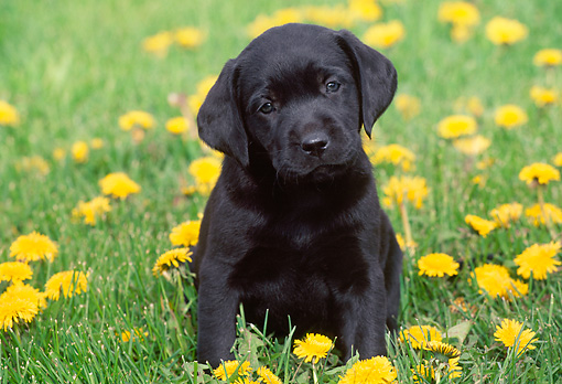 cute black lab puppies 30 wonderful black labrador retriever 2650