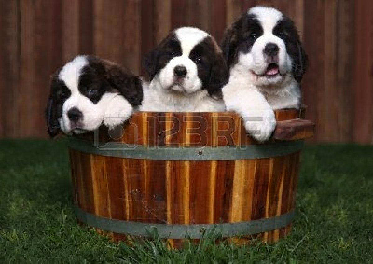 Cute Saint Bernard Puppies In Basket