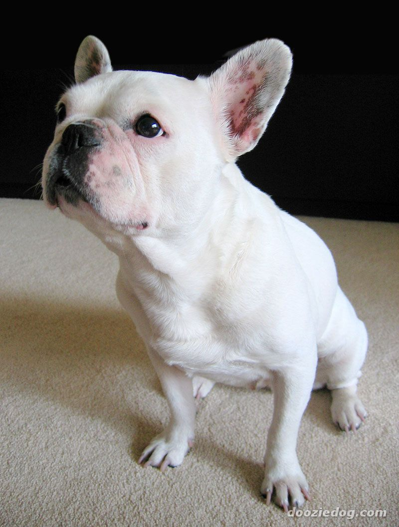 Mini Cream French Bulldog