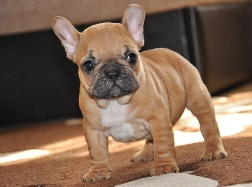 Popular Bulldog Brown Adorable Dog - Fawn-Cute-French-Bulldog-Puppy  Gallery_441871  .jpg