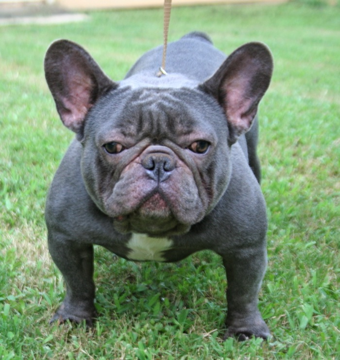 French Bulldog Blue Full Grown | www.imgkid.com - The ...