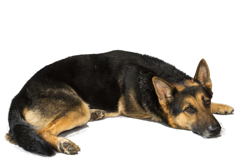 Muscular Dogs Top 10 Pics Photos - Categori...