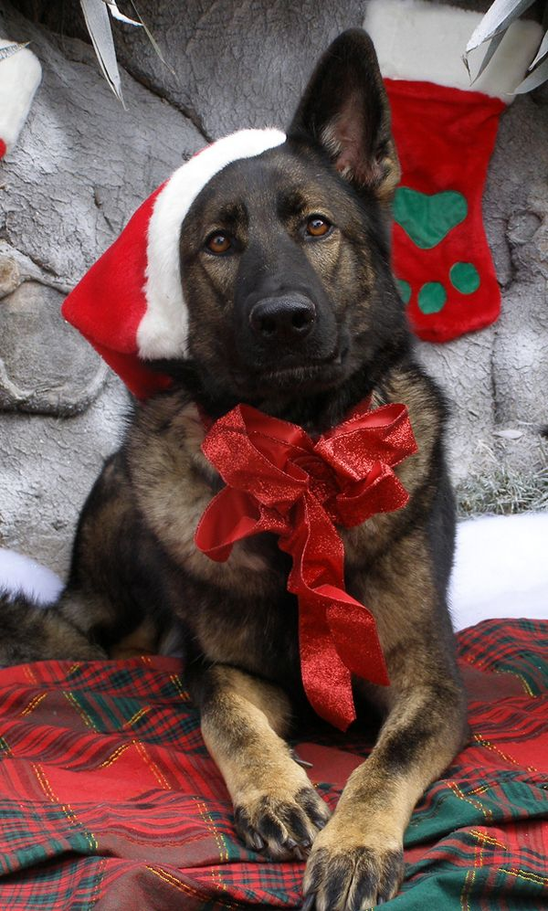 german shepherd dog wearing santa claus cap and red bow picture