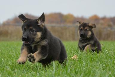 10 Reasons German Shepherds Are The Best Dog