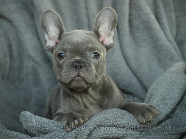 Just french Bulldog puppies left for sale! | Spain
