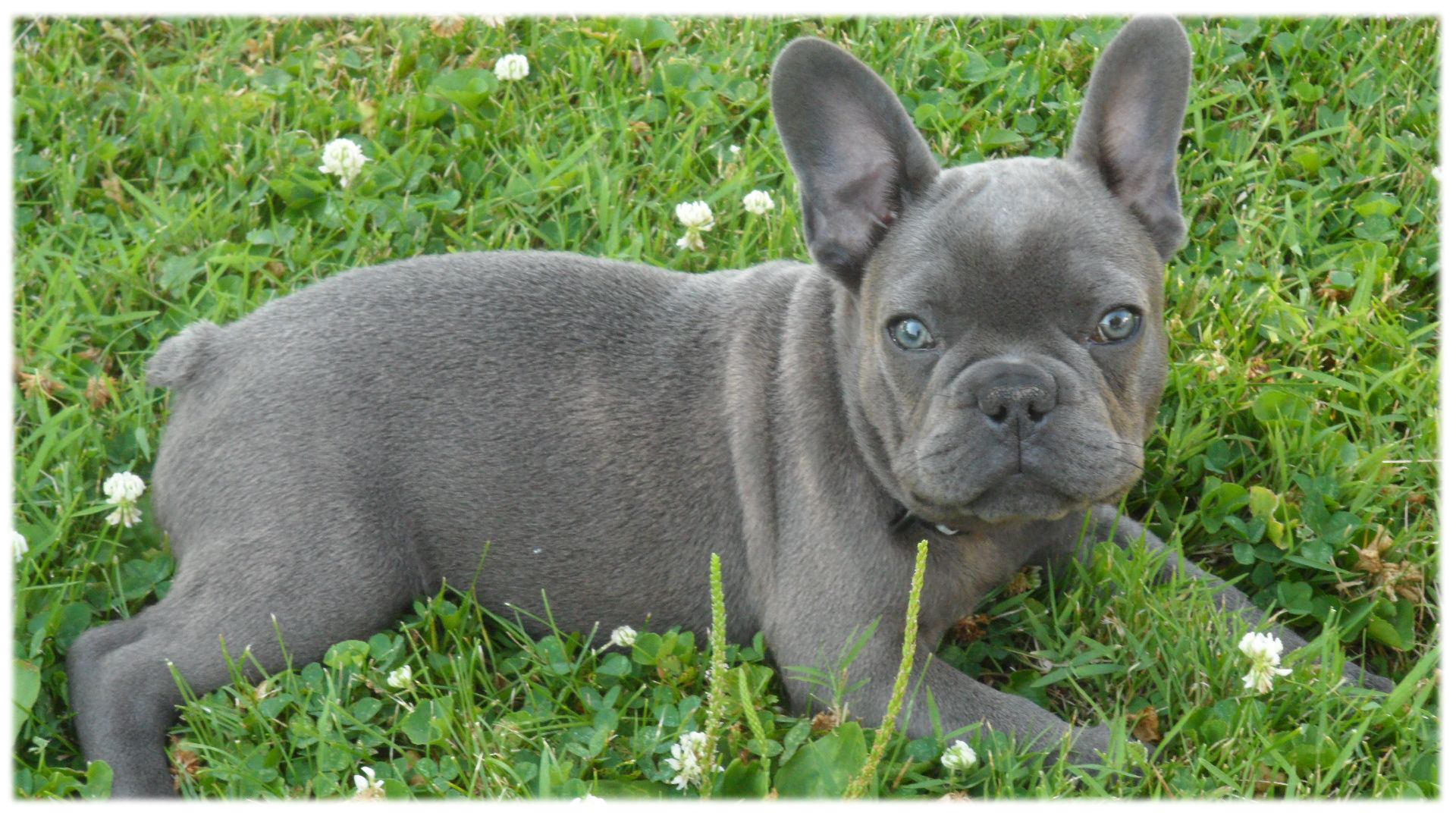 Tea Cup French Bulldog Castrophotos