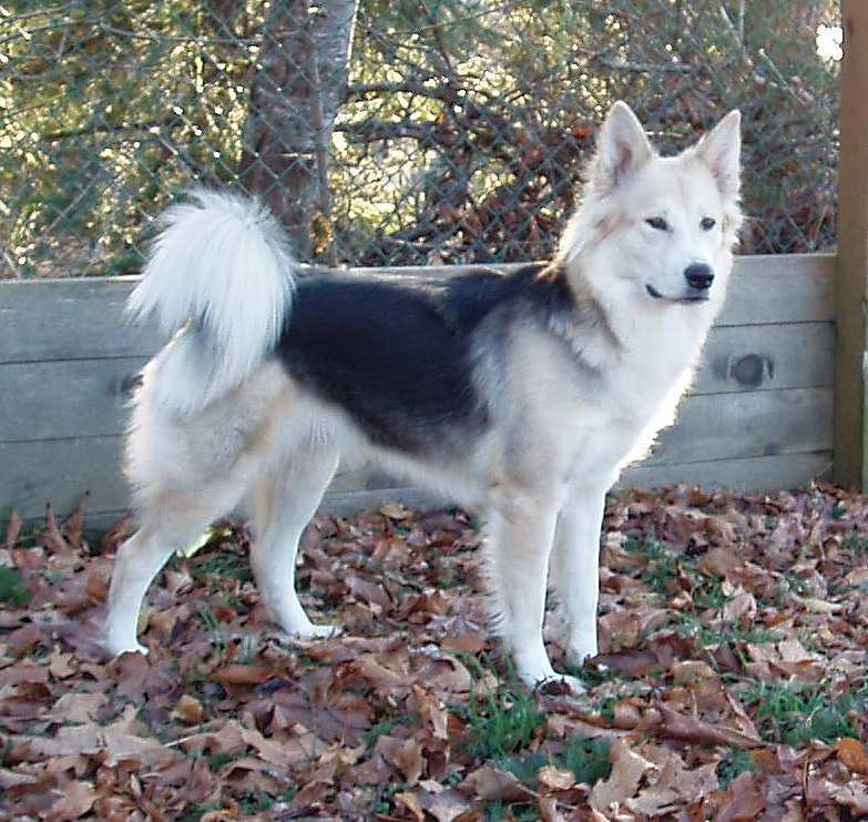 german shepherd and husky mix 15 best husky mix german shepherd images and photos 2163