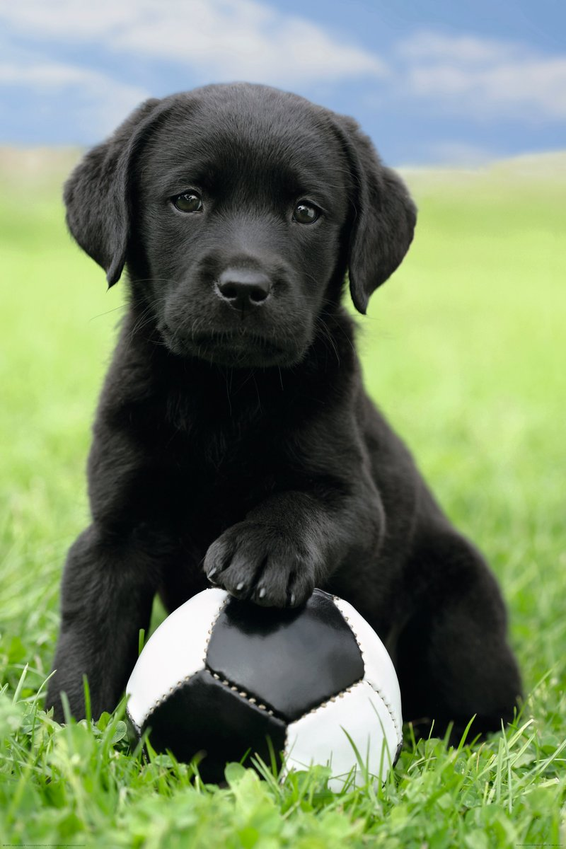 25 Cute Labrador Retriever Puppies Pictures And Images
