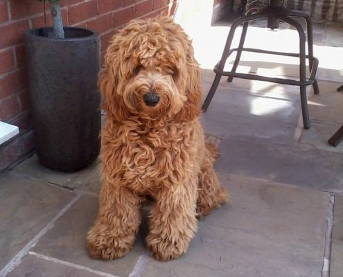 23 Cute Cockapoo Pictures And Images