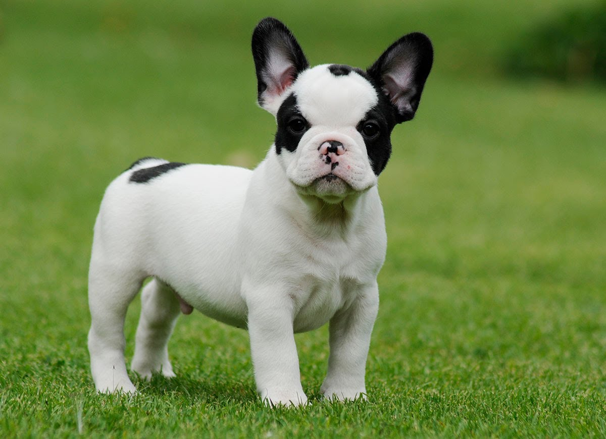 Black Teacup French Bulldog Pics Download