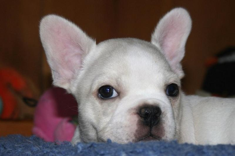 34 Adorable White French Bulldog Pictures And Photos