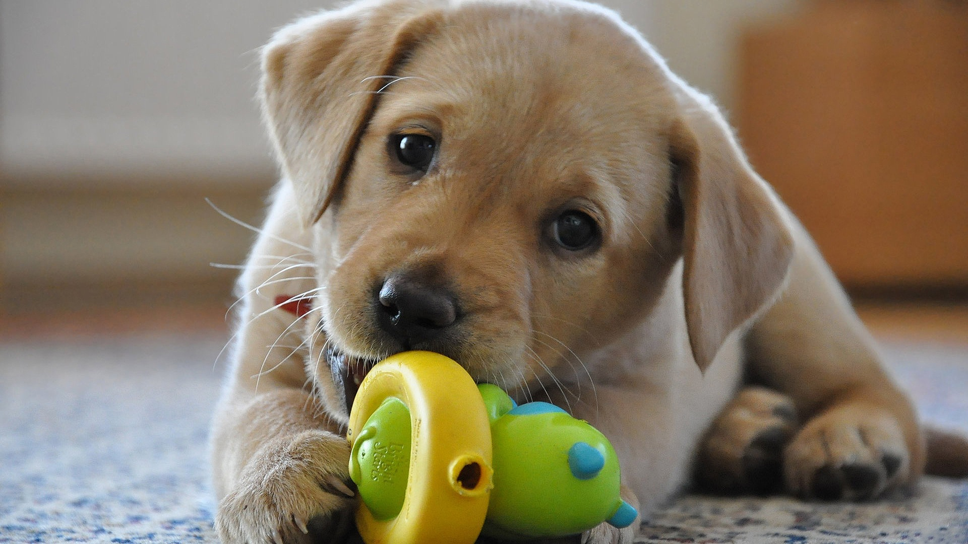 Puppy Golden Labrador Retriever Playing With Toy