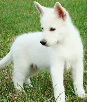 White German Shepherd Pictures And Images