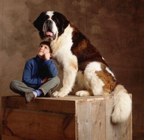 35 Wonderful Saint Bernard Dog Pictures And Images