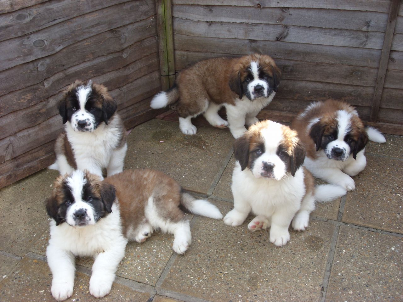 48 Most Beautiful Saint Bernard Puppy Pictures And Images