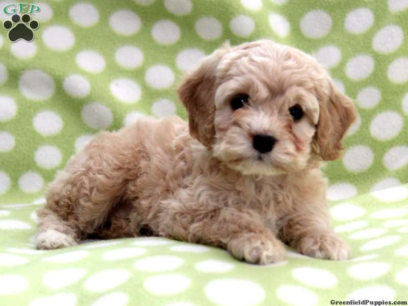 48 Cute Cockapoo Puppy Pictures