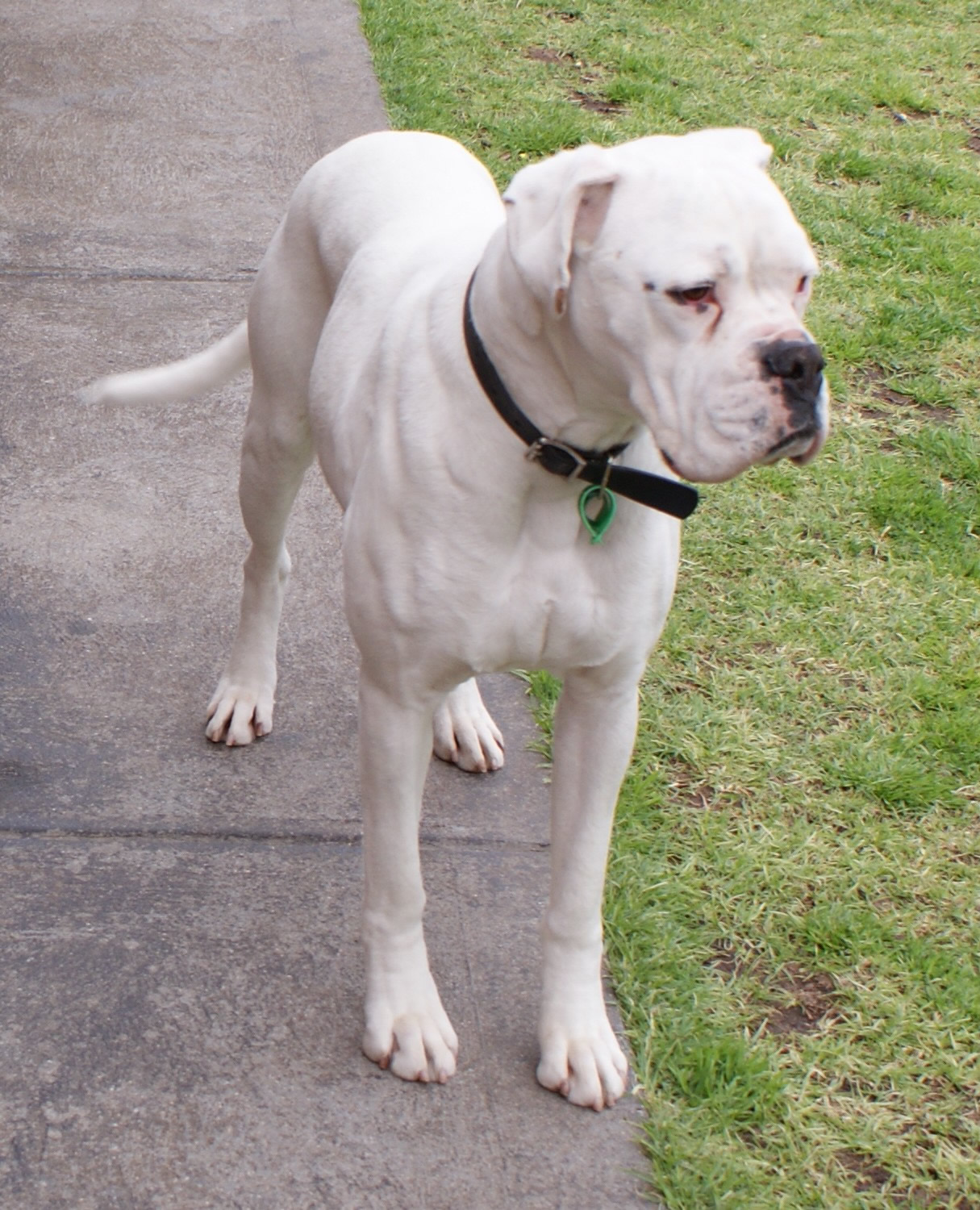 35 Beautiful White Boxer Dog Pictures