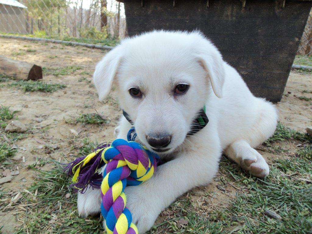 Cute White German Shepherd Puppies   www.imgkid.com - The ...