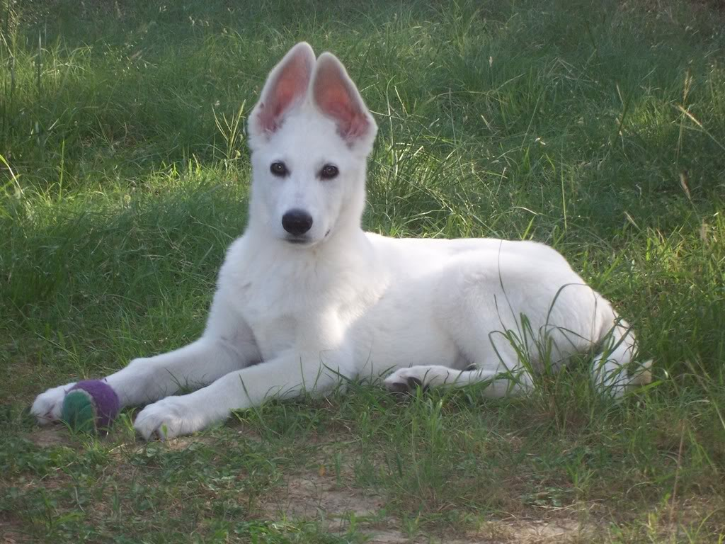 45 Very Beautiful White German Shepherd Pictures And Images