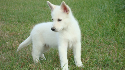 White German Shepherd Puppy Image