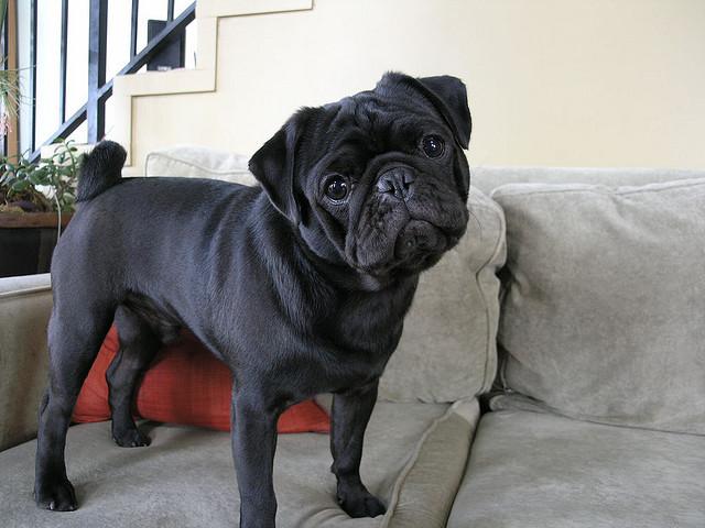 Beautiful Pug Canine Adorable Dog - Adorable-Black-Pug-Puppy  Image_864899  .jpg