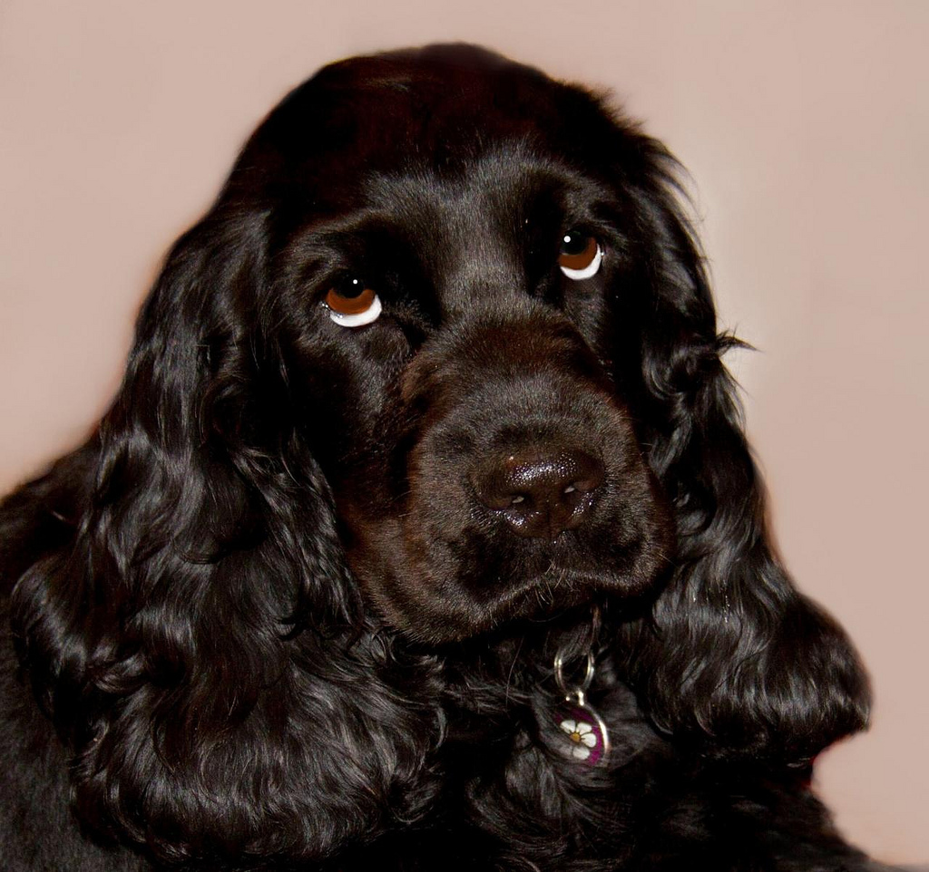 50 Very Beautiful Black Cocker Spaniel Pictures And Images