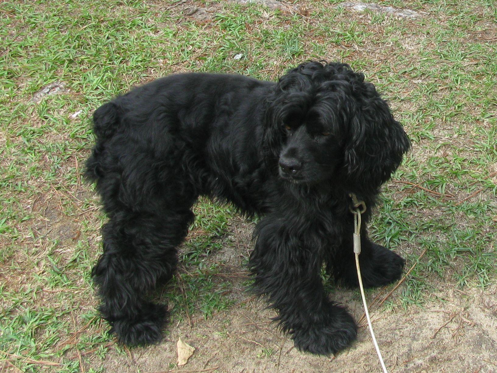 black cocker spaniel mix puppy