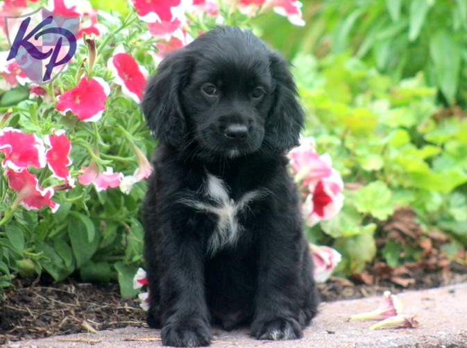 cocker spaniel mix breeds 50 very beautiful black cocker spaniel pictures and images 2357