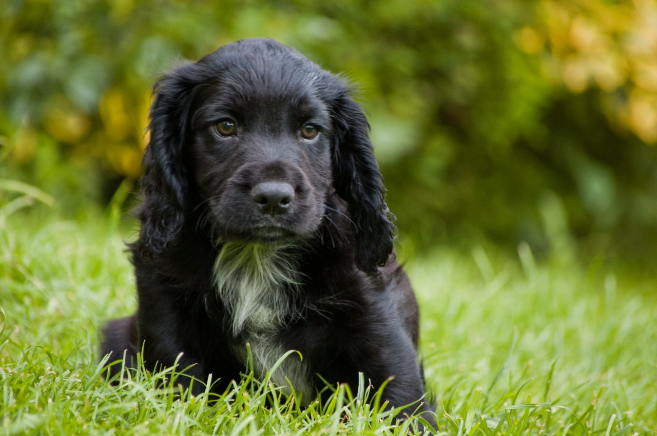 44 Very Cute Cocker Spaniel Puppy Pictures