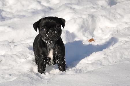 Resultado de imagen para pug snow