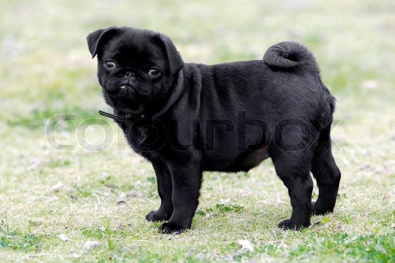 Must see Pug Black Adorable Dog - Black-Pug-Puppy2  Pic_507642  .jpg