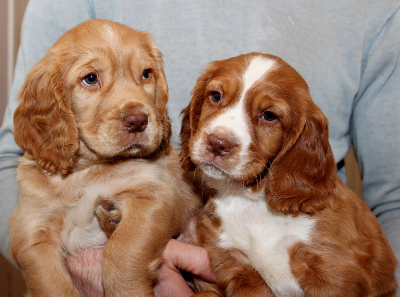 Working Cocker Spaniel Puppies for Sale | Romania