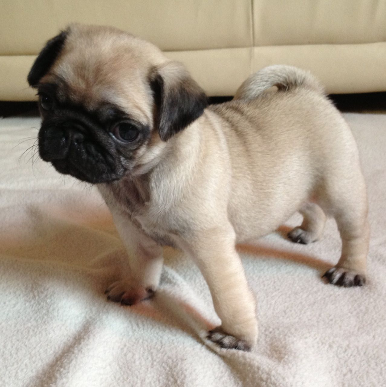 47 Very Cute Pug Puppy Pictures And Photos