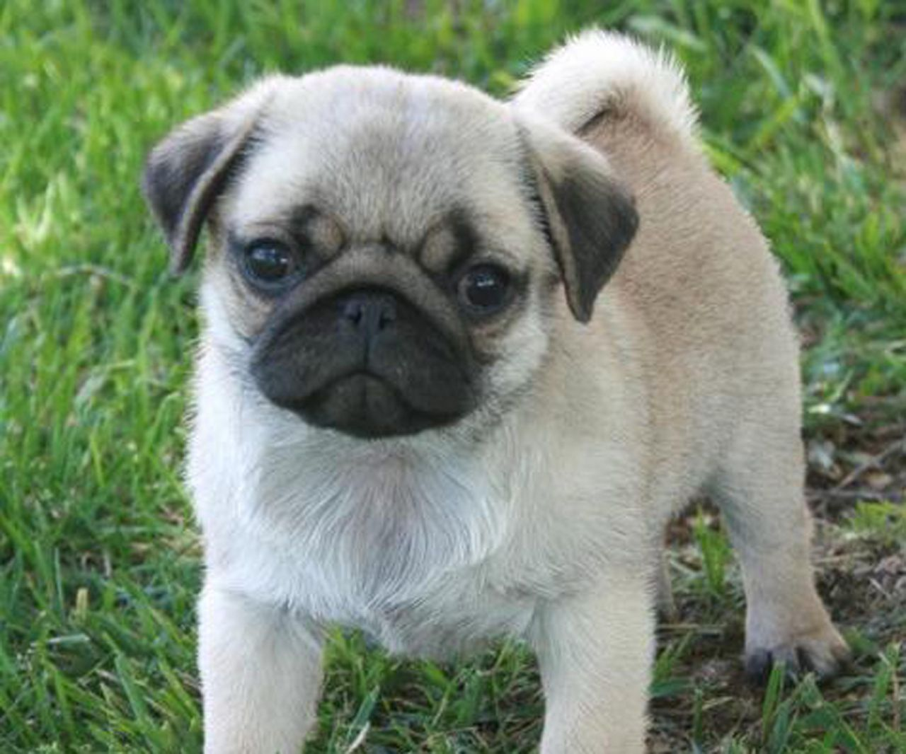 47 Very Cute Pug Puppy And s