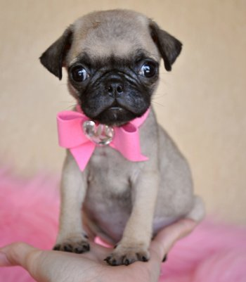Most Inspiring Pug Bow Adorable Dog - Cute-Pug-Puppy-With-Pink-Bow-Picture  Pictures_773286  .jpg