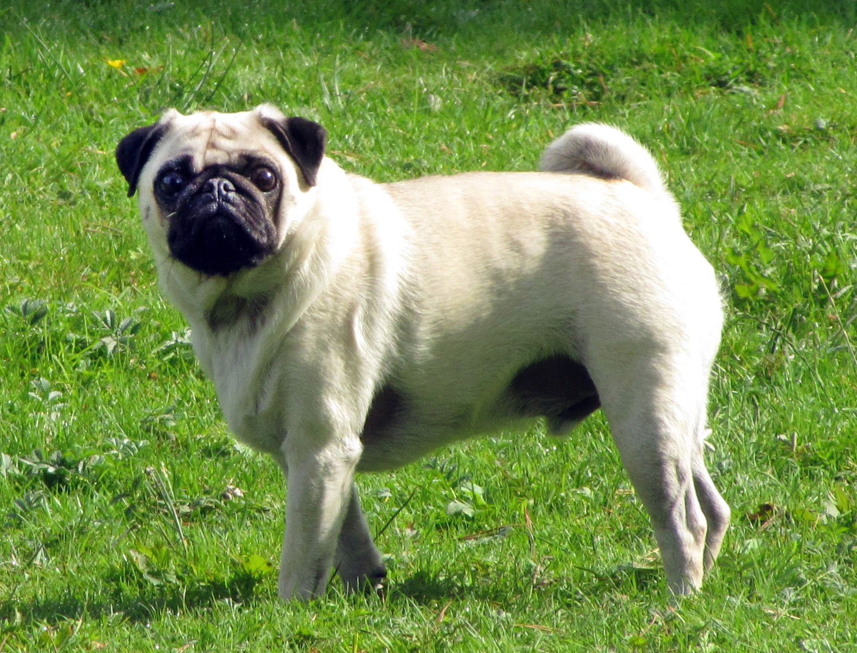 30 Most Beautiful Pug Dog Pictures And Images