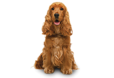 20 Most Beautiful Cocker Spaniel Dog Pictures And Images
