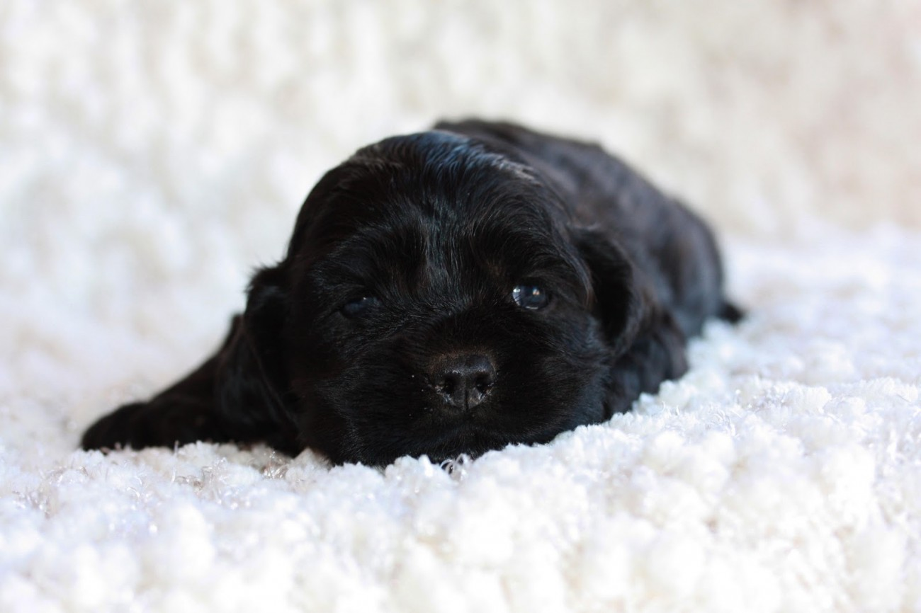 50 very beautiful black cocker spaniel pictures and images - Free cocker spaniel screensavers ...